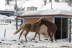 Härliga hästar som spelar i ladugården i de snöig fjällängarna Schweiz i vinter Arkivfoto