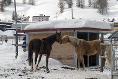 Härliga hästar som spelar i ladugården i de snöig fjällängarna Schweiz i vinter Royaltyfri Fotografi