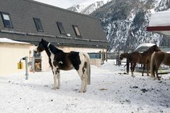 Härliga hästar som spelar i ladugården i de snöig fjällängarna Schweiz i vinter Royaltyfria Foton
