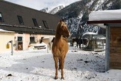Härliga hästar som spelar i ladugården i de snöig fjällängarna Schweiz i vinter Arkivbilder