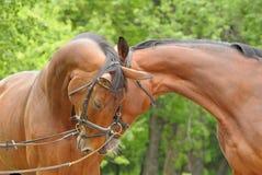 härliga hästar två Royaltyfri Bild