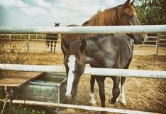 härliga hästar två Arkivfoton
