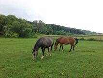 härliga hästar två Royaltyfri Fotografi