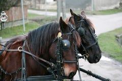 härliga hästar två Royaltyfria Foton