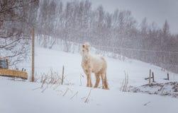 Härliga håriga hästar som står behing det elektriska staketet i tungt snöfall Norsk lantgård i vintern Hästar i häftig snöstorm arkivfoto