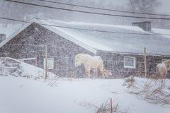 Härliga håriga hästar som står behing det elektriska staketet i tungt snöfall Norsk lantgård i vintern Hästar i häftig snöstorm royaltyfri bild