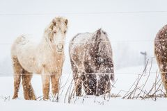 Härliga håriga hästar som står behing det elektriska staketet i tungt snöfall Norsk lantgård i vintern Hästar i häftig snöstorm royaltyfri foto