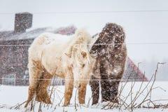 Härliga håriga hästar som står behing det elektriska staketet i tungt snöfall Norsk lantgård i vintern Hästar i häftig snöstorm royaltyfri fotografi