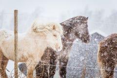 Härliga håriga hästar som står behing det elektriska staketet i tungt snöfall Norsk lantgård i vintern Hästar i häftig snöstorm royaltyfria foton