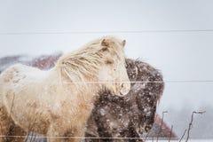 Härliga håriga hästar som står behing det elektriska staketet i tungt snöfall Norsk lantgård i vintern Hästar i häftig snöstorm arkivfoton