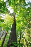 Härliga högväxt trees av Oregon Royaltyfria Foton