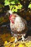 härliga haneleaves för höst Arkivbilder