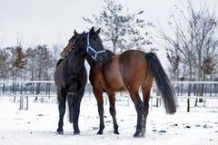 Härliga Hanoverian tävlings- hästar på snön arkivbilder