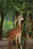 Härliga hjortar Royaltyfria Bilder