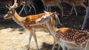 Härliga hjortar Bambi arkivfilmer