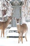 Härliga hjortar i den lokala kyrkogårdvintertiden royaltyfria foton