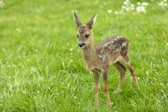 Härliga hjortar lismar Arkivbilder