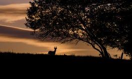 Härliga hjortar på solnedgången i naturen arkivfoton
