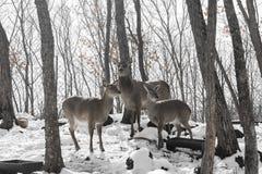 Härliga hjortar står familjen i en snöig skog, en familj av hjortar och lismar, Royaltyfria Foton