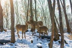 Härliga hjortar står familjen i en snöig skog, en familj av hjortar och lismar, Arkivfoto