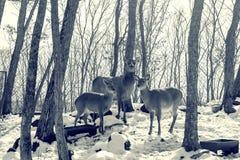 Härliga hjortar står familjen i en snöig skog, en familj av hjortar och lismar, Arkivfoton