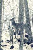 Härliga hjortar står familjen i en snöig skog, en familj av hjortar och lismar, Arkivbild