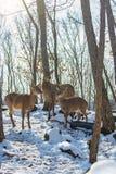 Härliga hjortar står familjen i en snöig skog, en familj av hjortar och lismar, Royaltyfri Fotografi
