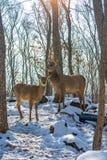 Härliga hjortar står familjen i en snöig skog, en familj av hjortar och lismar, Royaltyfri Bild