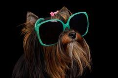 härliga hundexponeringsglas Royaltyfri Foto