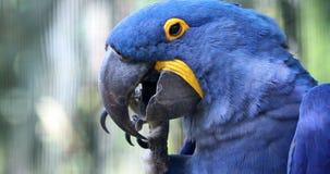 Härliga Hyacinth Macaw Parrot - Closeupstående arkivfilmer