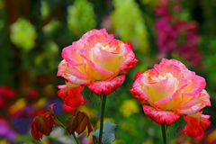 Härliga hybrid- rosor Royaltyfria Bilder