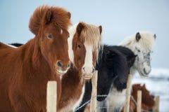 Härliga icelandic hästar i vinter, Island Arkivfoton