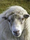 Härliga isländska får i vinden Royaltyfri Fotografi