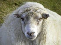 Härliga isländska får i vinden Royaltyfria Foton