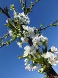 Härliga körsbärsröda blomningar mot den blåa himlen Arkivfoton