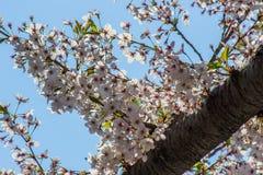 Härliga körsbärsröda blomningar på Hirosaki parkerar, Aomori, Tohoku, Japan i vår Royaltyfria Foton