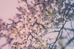 Härliga körsbärsröda blomningar på Hirosaki parkerar, Aomori, Tohoku, Japan i vår Arkivfoto