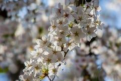Härliga körsbärsröda blomningar på Hirosaki parkerar, Aomori, Tohoku, Japan i vår Royaltyfri Foto