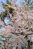 Härliga körsbärsröda blomningar på Hirosaki parkerar, Aomori, Tohoku, Japan i vår Arkivbilder