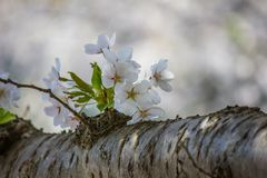 Härliga körsbärsröda blomningar på Hirosaki parkerar, Aomori, Tohoku, Japan i vår Royaltyfri Bild