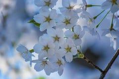 Härliga körsbärsröda blomningar på Hirosaki parkerar, Aomori, Tohoku, Japan i vår Fotografering för Bildbyråer