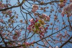 Härliga körsbärsröda blomningar på Hirosaki parkerar, Aomori, Tohoku, Japan i vår Royaltyfri Fotografi