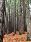 Härliga kaliforniska redwoodträdträd Arkivbilder