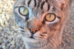härliga kattögon Fotografering för Bildbyråer