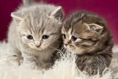 härliga kattungar två Fotografering för Bildbyråer