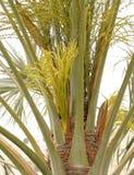 härliga knoppar date blommor den gröna palmträdet Royaltyfria Foton