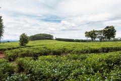 Härliga kolonier för grönt te av Mulanje i Malawi royaltyfri foto
