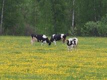 Härliga kor som äter gräs i ängen royaltyfri foto