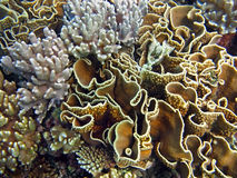 härliga korallträdgårdar Arkivfoto