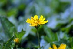 härliga kosmos blommar yellow Arkivbilder